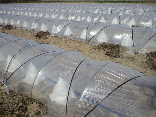 小林直太郎農園|メロンの幼苗は紙テントで保護