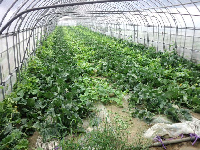 小林直太郎農園|最後のハウス・7月5日の様子