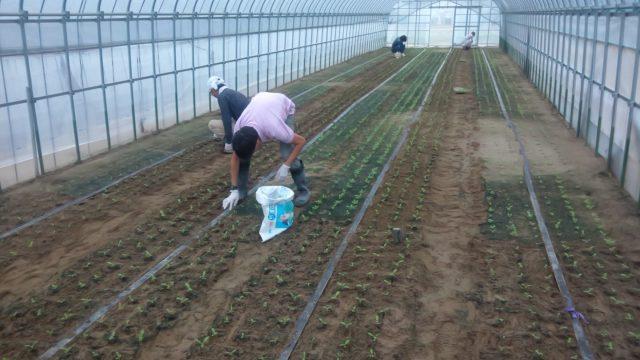 小林直太郎農園|切花ストックの八重鑑別が進行中