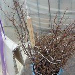 電熱育苗温床で啓翁桜の開花促進