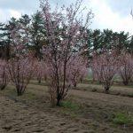 啓翁桜が満開