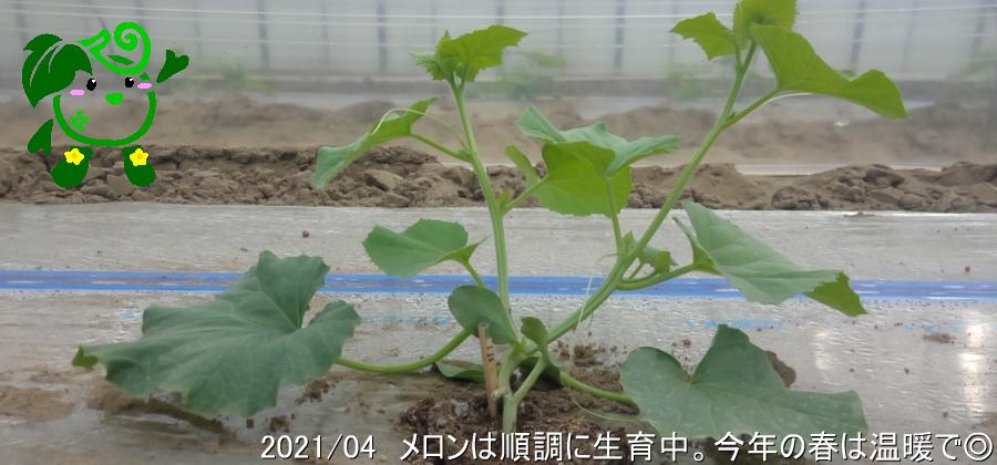 小林直太郎農園|2021年4月 メロンは順調に生育中。今年の春は温暖で◎