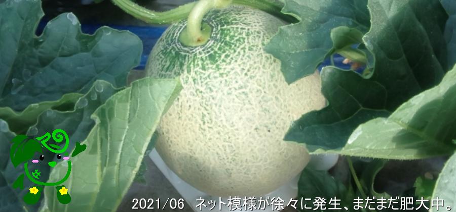 小林直太郎農園|2021年6月 ネット模様が徐々に発生、まだまだ肥大中。